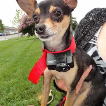 Anti Bark Collar For Chihuahua
