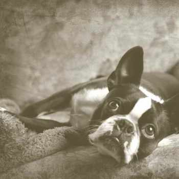 Antique Boston Terrier