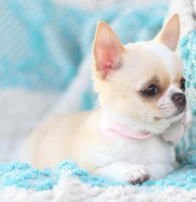 Applehead Chihuahua Rescue