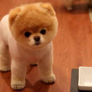 Are Pomeranian Dogs Hypoallergenic