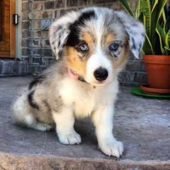 Aussie Corgi Puppies For Sale