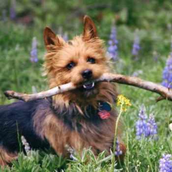 Austrailian Terrier Rescue