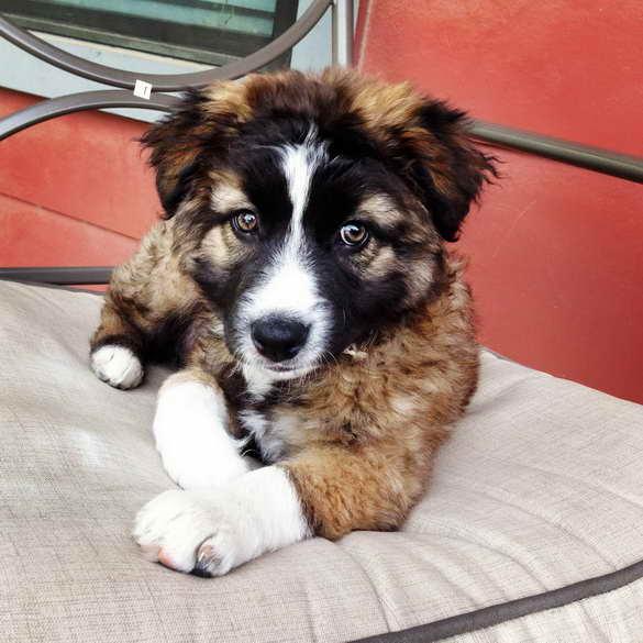 Australian German Shepherd Mix Puppy