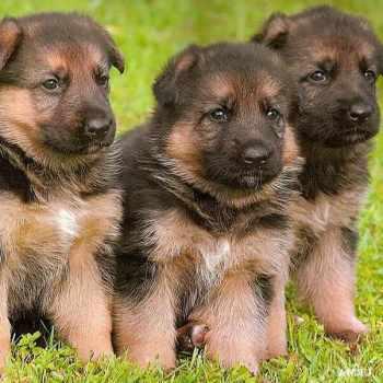 Australian German Shepherd Puppies For Sale