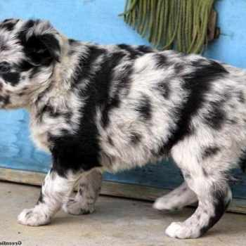 Australian Shepherd Husky Mix For Sale