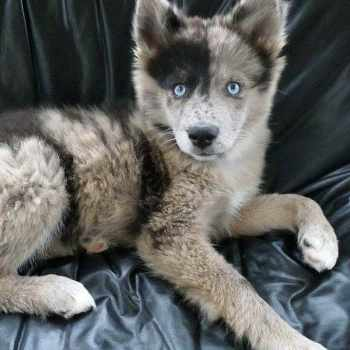 Australian Shepherd Husky Puppies