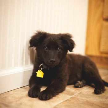 Australian Shepherd Labrador Mix Puppies For Sale