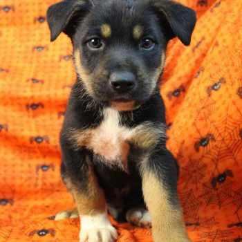 Australian Shepherd Rottweiler Mix Puppies For Sale