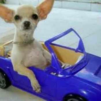 Auto Chihuahua