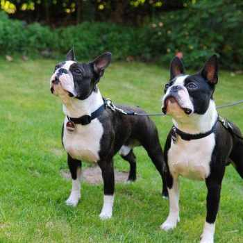 Average Cost Of Boston Terrier