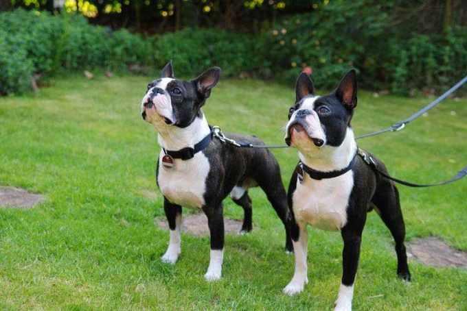 Average Cost Of Boston Terrier