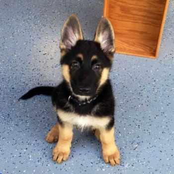 Average Cost Of German Shepherd Puppy