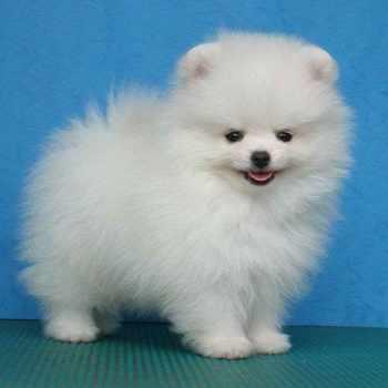 Average Price For Pomeranian Puppies