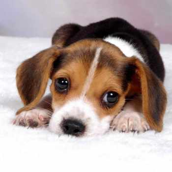 Average Price Of Beagle Puppies