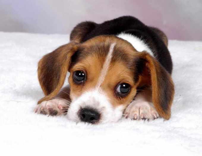 Average Price Of Beagle Puppies