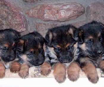 Average Price Of German Shepherd Puppy