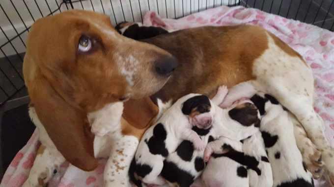 Baby Basset Hound For Sale