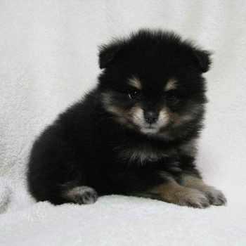 Baby Black Pomeranian