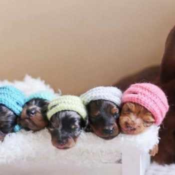 Baby Dachshund Puppy