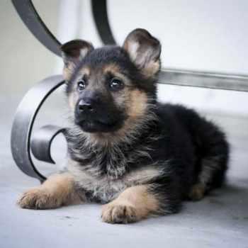 Baby German Shepherd Puppies