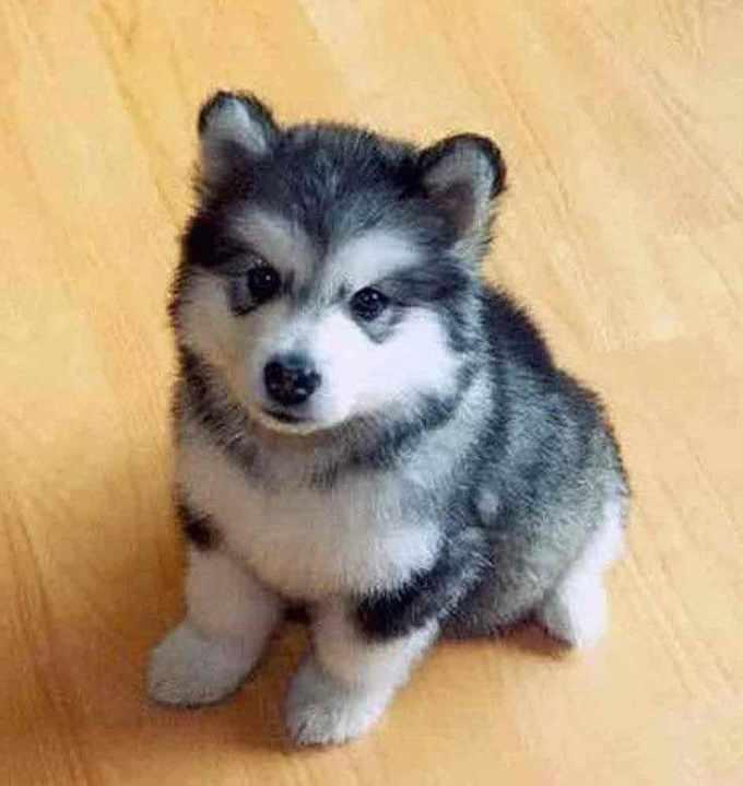 Baby Husky Dogs