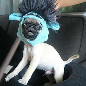 Baby Pug Halloween Costume