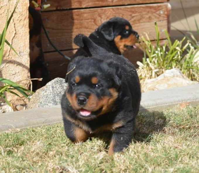 Baby Rottweiler For Sale