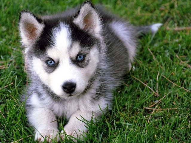 Baby Siberian Husky