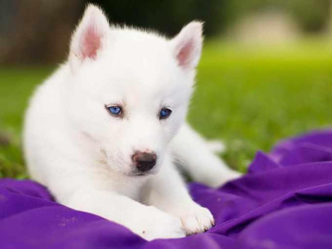 Baby White Siberian Husky