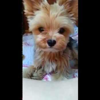 Baby Yorkie Terrier