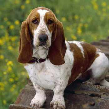 Basset Hound Adults For Sale