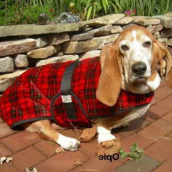 Basset Hound Coat