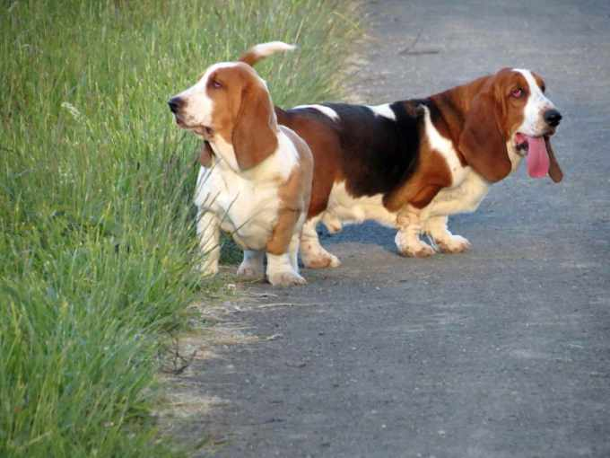 Basset Hound Dogs For Sale