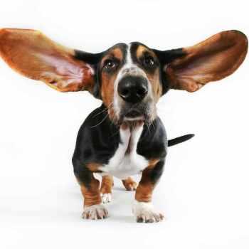 Basset Hound Ears