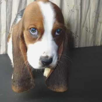 Basset Hound For Sale In Arkansas