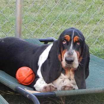 Basset Hound For Sale In Ky