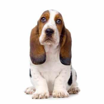 Basset Hound Names Male