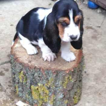 Basset Hound Puppies Arkansas