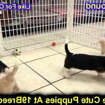 Basset Hound Puppies Colorado Springs