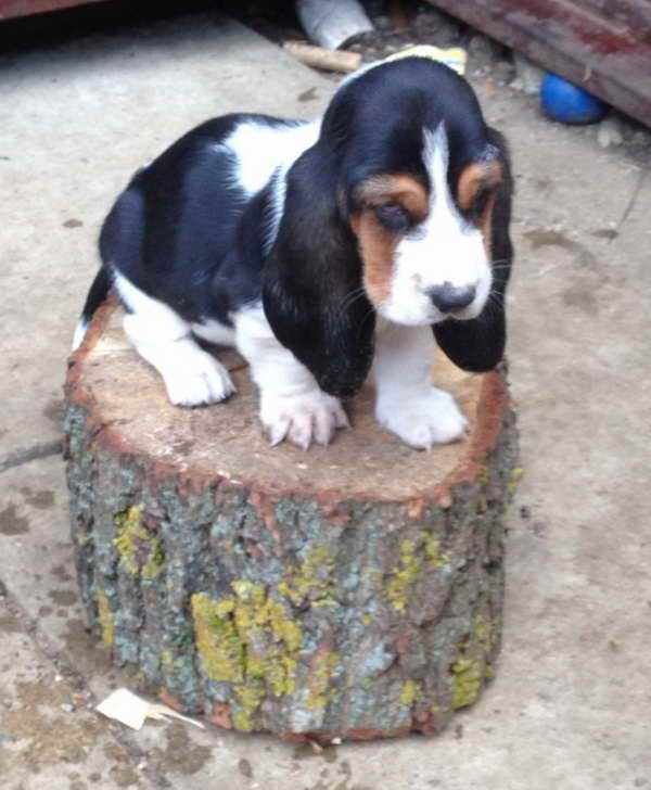 Basset Hound Puppies For Sale In Va