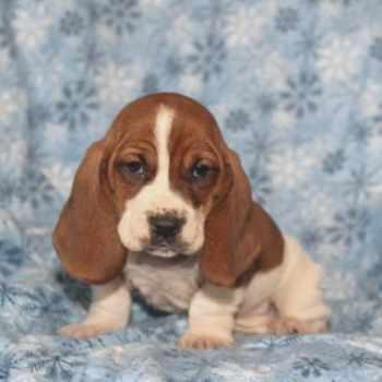 Basset Hound Puppies For Sale Wi