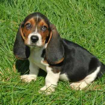 Basset Hound Puppies In Iowa