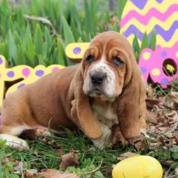 Basset Hound Puppies In Ky