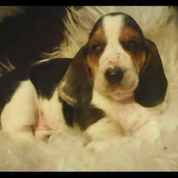 Basset Hound Puppies New Mexico