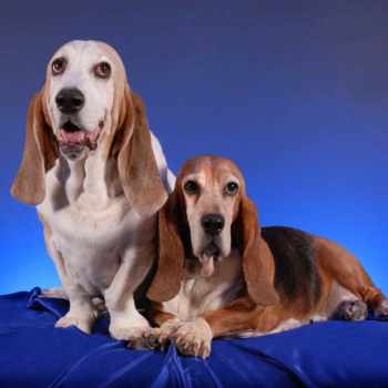Basset Hound Puppies Rochester Ny