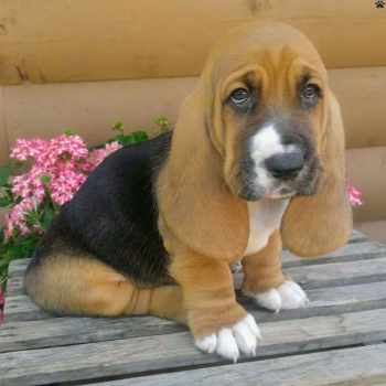 Basset Hound Rescue Pa