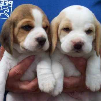 Beagle Adoption Nyc