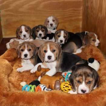 Beagle Adoption