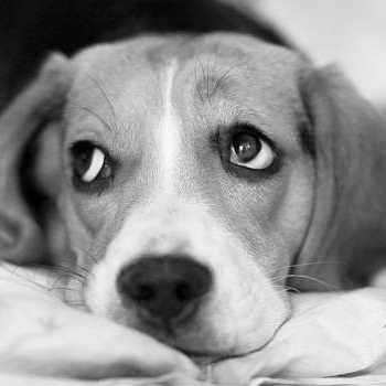 Beagle Anxiety