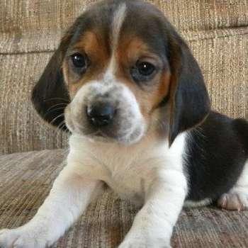 Beagle Basset Hound Mix Puppies